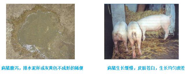 猪慢性消耗性疾病_回肠炎|不得不重视的疾病-技术服务-山东华辰制药有限公司
